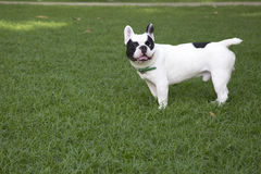 French bulldog in grass field Royalty Free Stock Images