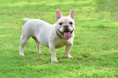 French bulldog on  grass field Stock Photography