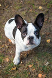 French bulldog on the grass Stock Photos