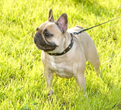 French Bulldog on green grass background Stock Images