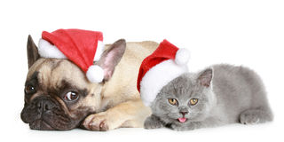 French bulldog and grey kitten Royalty Free Stock Images