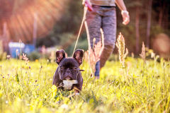 French Bulldog. Happy black French Bulldog in a meadow royalty free stock images