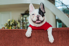 French Bulldog happy. A happy french bulldog pup Royalty Free Stock Image