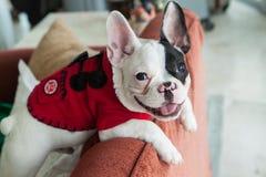 French Bulldog happy. A happy french bulldog pup Royalty Free Stock Photos