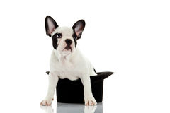 French bulldog with hat isolated on white background dog Royalty Free Stock Photography