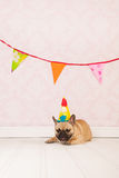 French bulldog is having birthday Royalty Free Stock Image