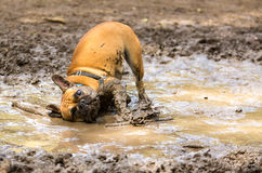 French Bulldog having fun. In a mud puddle royalty free stock images
