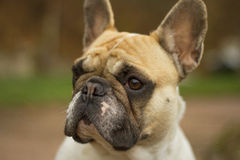 French Bulldog head Royalty Free Stock Images