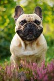 French bulldog in heather Stock Photos