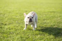 French Bulldog. Heavy bone, smooth coat, compact structure.  hair short and fine and glossy, color is yellowish brown Tabby, white, etc.. Taller than the royalty free stock photo