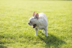 French Bulldog. Heavy bone, smooth coat, compact structure.  hair short and fine and glossy, color is yellowish brown Tabby, white, etc.. Taller than the stock photos