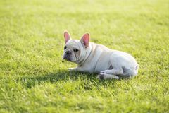 French Bulldog. Heavy bone, smooth coat, compact structure.  hair short and fine and glossy, color is yellowish brown Tabby, white, etc.. Taller than the stock image