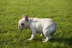 French Bulldog. Heavy bone, smooth coat, compact structure.  hair short and fine and glossy, color is yellowish brown Tabby, white, etc.. Taller than the stock photo