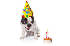 French bulldog on his first birthday Royalty Free Stock Photography
