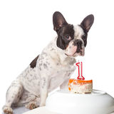 French bulldog on his first birthday. Royalty Free Stock Images