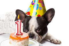 French bulldog on his first birthday. With doggy cake Stock Photography
