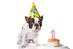French bulldog on his first birthday Stock Photography