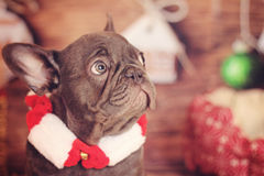 French bulldog holiday profile stock photography