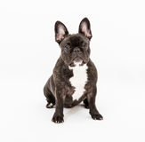 French Bulldog. Image of French Bulldog on white background stock photos