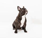 French Bulldog. Image of French Bulldog on white background Stock Photo