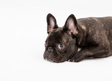 French Bulldog. Image of French Bulldog on white background Royalty Free Stock Photos