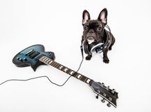 French Bulldog. Image of French Bulldog , white background stock image