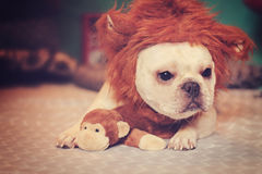 Free French Bulldog In A Lion Costume Royalty Free Stock Photography - 79306007