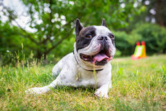 Free French Bulldog In The Garden Stock Photography - 95960072