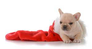 Puppy in christmas stocking. French bulldog inside a red christmas stocking on white background Stock Photography