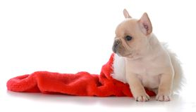 Puppy in christmas stocking. French bulldog inside a red christmas stocking on white background Royalty Free Stock Image