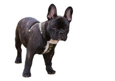 French Bulldog isolated Stock Image
