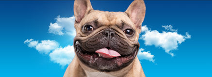 French bulldog isolated over blue background Royalty Free Stock Photography