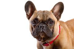 French Bulldog Royalty Free Stock Photos