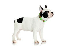 French bulldog isolated on white background animal Stock Photo
