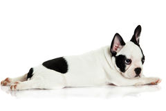 French bulldog isolated on white background Royalty Free Stock Image
