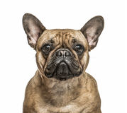 French Bulldog isolated on white Stock Image