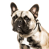 French Bulldog isolated on white Stock Photos