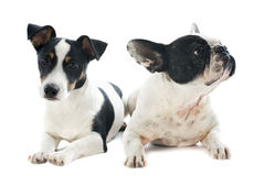 French bulldog and jack russel terrier Royalty Free Stock Photo