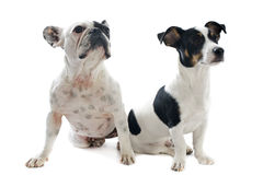 French bulldog and jack russel terrier Royalty Free Stock Photography