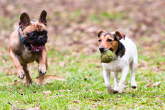 French Bulldog and Jack Russel Terrier. Playing with a ball Stock Photos