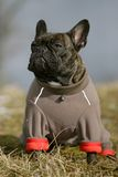 French bulldog with jacket. Close-up of a young brown Frenchy dressed with a dog-jacket Stock Photos