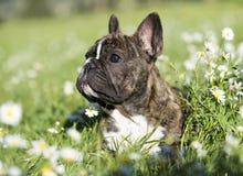 French Bulldog jumping Stock Photography