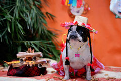 French Bulldog junino. French bulldog dressed for the June festivities celebrated in July in Brazil Royalty Free Stock Images