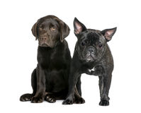 French Bulldog and Labrador puppy Royalty Free Stock Photo