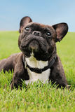 French Bulldog laying in the grass Stock Image