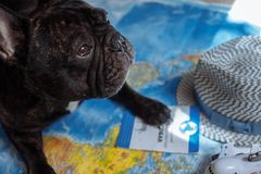 French bulldog lies on the world map with passport, hat and small plane, travel with dog, where to go with dog concept. French bulldog is thinking of Far-off royalty free stock photos