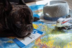 French bulldog lies on the world map with passport, hat and small plane, travel with dog, where to go with dog concept. French bulldog is thinking of Far-off royalty free stock image