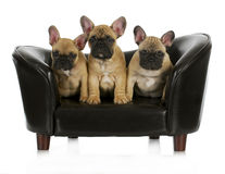French bulldog litter Stock Photo