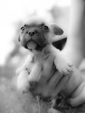 French bulldog. Little French bulldog at attention royalty free stock photo