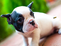 French bulldog. Little French bulldog at attention stock photo